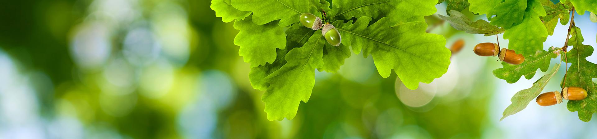ekgren med ekblad och ekollon.