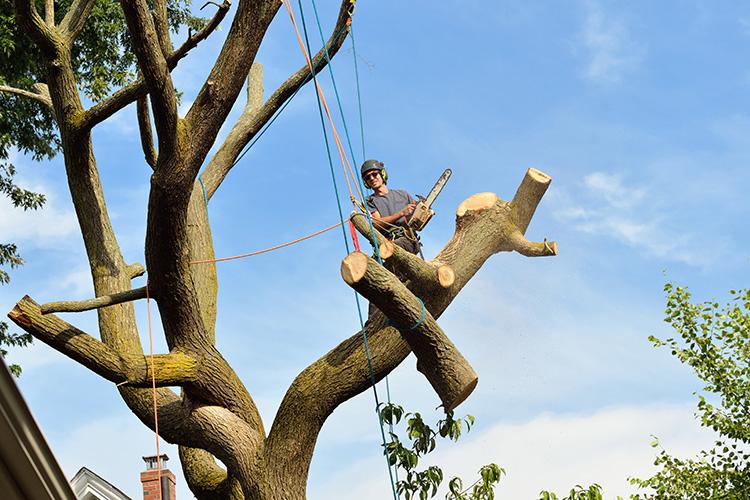 en arborist som håller på med en nedmontering av ett träd, till hjälp andvänder han rep.