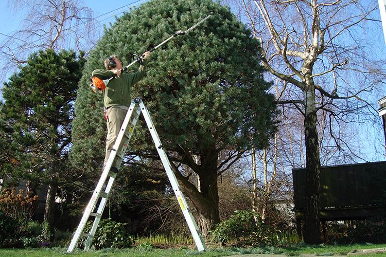 man på stege som klotbeskär ett mindre träd med en stång häcksax