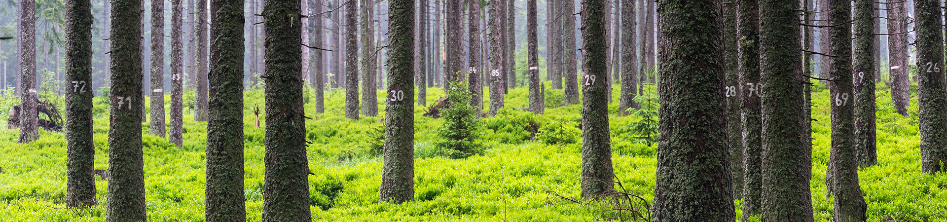 inventerings nummer på träd, mossa och blåbärsris täcker marken.