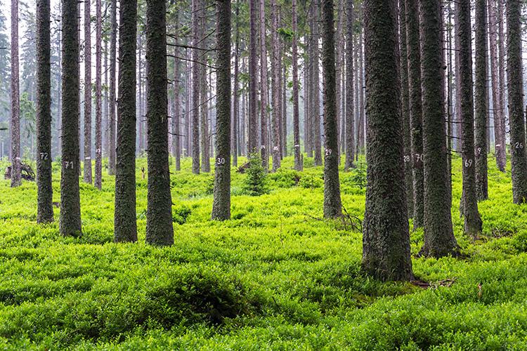 inventering av ett skogsparti, träden är numrerade på stammarna.