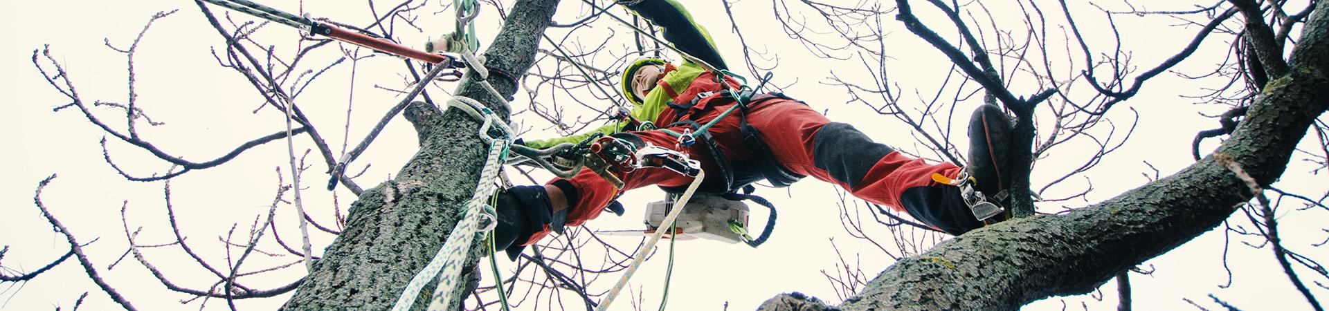 arborist i en trädkrona, han förberäder en kronstabilisering eller en fällning av stam.