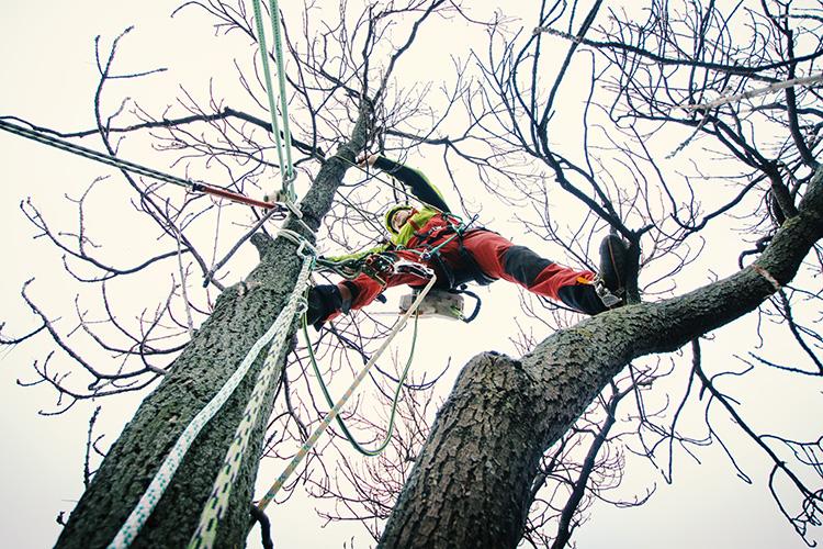 en arborist som är uppe i trädkronan och förbereder en kronstabilisering eller en fällning av gren