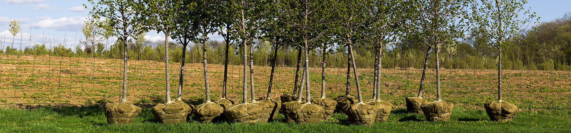 planterings träd som står på marken i sin rotklump vid ett odlings område. förberädelse till nyplantering.