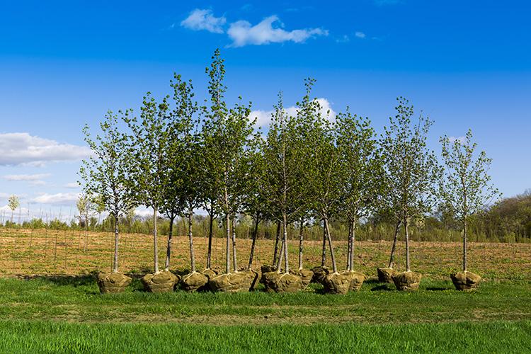 nyplanterings träd som står på marken för att snart planteras ner i jorden.