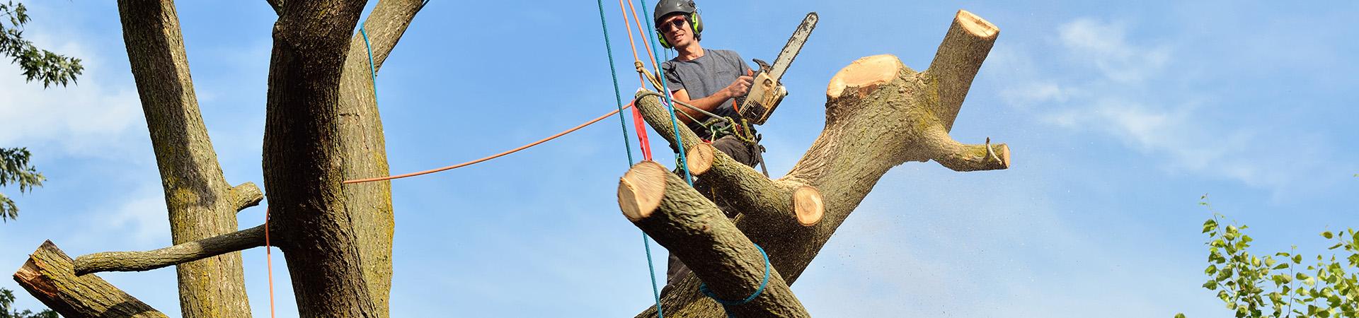 en arborist med säkerhetslinor och motorsåg i ett träd, fira ner grenar med linor