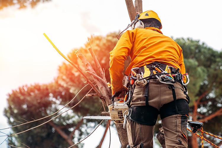 en arborist med full säkerhets utrustning och motorsåg i handen, utför en hamling av ett träd